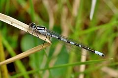 damselfly................. (Suzie Noble) Tags: water field insect bog damselfly azuredamselfly strathglass struy horseshoebog