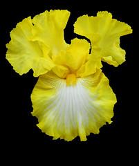 Yellow Iris Close Up (Puzzler4879) Tags: flowers iris ngc npc pointandshoot yellowflowers beardediris canonpowershot yellowiris canonaseries canonphotography canonpointandshoot yellowbeardediris a580 canona580 canonpowershota580 powershota580