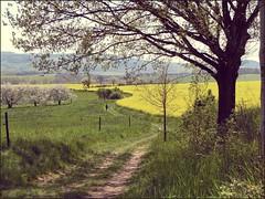 follow the path (Andr-DD) Tags: tree germany deutschland spring blossom path saxony sachsen raps baum wanderer frhling blten pfad rapeseed kreischa