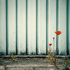 keep your eyes open, nature is everywhere <3 (Lumins) Tags: red flower square mono dof poppy minimalistic minimalsim sonyakpha