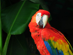 """Who are you and what are you saying?"" (Bennilover) Tags: southamerica colors birds zoo bright native beak feathers parrot talking staring macaw sandiegozoo parrots scarletmacaw beaks perching"