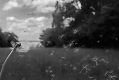 blowball (mariawauer) Tags: travel blackandwhite nature landscape photography bokeh sony dandelion explore pusteblume blowball sigmalens a6000 sigmaart sonya6000