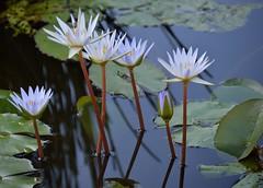 Lt. Blues (ACEZandEIGHTZ) Tags: park flowers blue plants plant miami waterlilies southdade fruitandspicepark