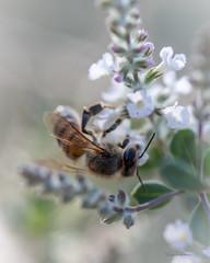 Honeybee (Tami Wohlever) Tags: arizona flower nature phoenix garden insect unitedstates bee honeybee desertbotanicalgarden whiteflowers flowerbud flyinginsect
