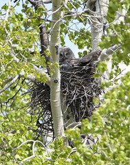 Great Gray Nest (jrlarson67) Tags: trees green bird nikon nest great gray raptor owl aspen predator d500 nesting
