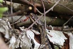 Adder (Viperus Berus) (kevinclarke1969) Tags: reptile snake yorkshire hatfield moor viper adder venomous berus viperus