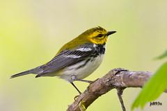 Black-throated Green Warbler (breeding male) (jt893x) Tags: male bird nikon sigma breeding blackthroatedgreenwarbler warbler d500 songbird mageemarsh nikond500 150600mm setophagavirens sigma150600mmf563dgoshsms jt893x