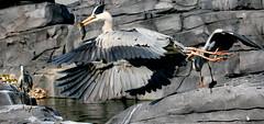 Heron Junkies (Ger Bosma) Tags: fish bird heron closeup flying fishing flight ardeacinerea reiger ardeidae greyheron garza reiher graureiher blauwereiger hroncendr czaplasiwa garzarealeuropea aironecenerino  gararealeuropeia 2mg170761