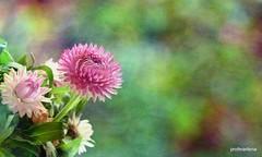 1-20160792-001   fusion (profmarilena) Tags: pink painterly flower macro art colors collage closeup bright bokeh creative digitalpainting thinkpink sigma150 nikond810 2picscollage