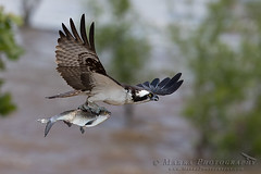 _DX_3993web (Marra_Photography) Tags: park bird birds canon river james wildlife richmond system raptor richmondva osprey birdsofprey rva jamesriver canonphotography jrps vabird eos1dxmarkii 1dxmii wildlifeva