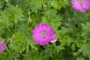 Max Frei Bloodred Geranium (Tim Stinger) Tags: plants max flora stinger geranium frei mortonarboretum bloodred maxfrei maxfreibloodredgeranium bloodredgeranium timstinger