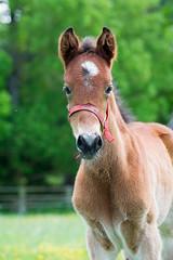 Curiosit (marieclairecroize) Tags: foal poulain trotteur