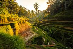 Rice Terraces (robert_vine) Tags: bali orange yellow sunrise indonesia rice terrace id terraces rays ubud tegallalang