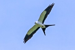 Swallow-tailed Kite (Kamal50) Tags: blue wild sky nature canon wonder island countryside amazing wings background wildlife flight feather aves claw caribbean avifauna westindies swallowtailedkite elanoidesforficatus canoneos7dmarkii