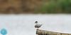 Common Tern (Sterna hirundo) Upinė žuvedra