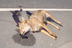 Coyote Road-Kill (NiteLiter) Tags: coyote roadkill hunter predator hitandrun deaddog chesapeakevirginia gilmertonbridge