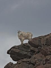 Mountain Goat (Oreamnos americanus) (Ron Wolf) Tags: nature mammal colorado wildlife alpine rockymountains bovidae mountaingoat mountevans subalpine artiodactyla clearcreekcounty rockymountaingoat oreamnosamericanus arapahonationalforest