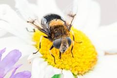 Midsommar_2016_DHK8762 (http://gullmars.se) Tags: flower macro bumblebee blomma mimicry hoverfly humla blomfluga humleblomfluga midsommar2016