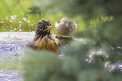 ajn_20160625-096_web (needhamlloyd) Tags: fountain robin splashing