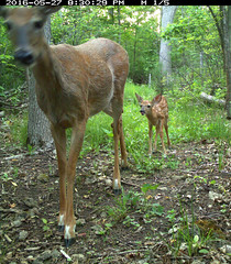 Doe and Fawn_May_2016 (Thomas Muir) Tags: ohio female mother deer fawn whitetailed odocoileusvirginianus perrysburg woodcounty tommuir
