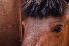 Kiso Horse (KellarW) Tags: japan kisoroad kiso kisohorse endangered criticallyendangered critical indigenousbreed indigenoushorse horsey horsie packanimal packhorse canon5diii canon100mmf28l 5diii 5dmarkiii 5dmkiii brown eyes browneyes browncolor thecolorbrown