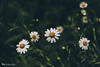 wild daisy (The Gaggle Photography | Jessica Nelson) Tags: nature wildflower helios natureycrap