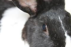 IMG_7636 (Gioser_Chivas) Tags: rabbit bunny animal conejo mascota vertebrado gioserchivas