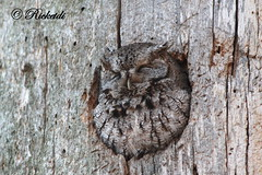 *** Petit duc macul / Eastern Screech-owl (ricketdi) Tags: bird ottawa ngc npc owl eastern screechowl coth petitducmacul fantasticwildlife coth5 sunrays5