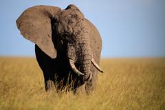 In the element (cdx_cdx) Tags: animals kenya safari elephants grasslands masaimara canonef500mmf4lisii canoneos1dxmarkii