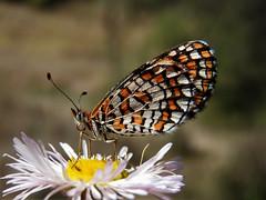 Tiny Checkerspot (d_taron) Tags: unitedstates arizona butterflies nymphalidae nymphalinae microtia microtiadymas