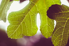 garden (2 of 5) (nngmao) Tags: nature leaves garden waterdroplets wetleaves