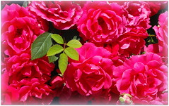 Roses (Stella VM) Tags: flowers roses beautiful garden redroses