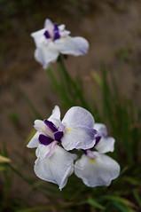 -852 (Mio:D) Tags: iris flower  ise