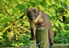 just checking............. (Suzie Noble) Tags: garden mammal peanuts pinemarten mustelid strathglass struy