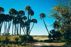 Seminole Ranch (corran105) Tags: wild sky sun color nature sunshine rural landscape florida outdoor hiking country scenic bluesky palm trail palmtree dirtroad naturalbeauty polarizer brevard stjohnsriver centralflorida tealsky vsco seminoleranch floridahikes vscofilm