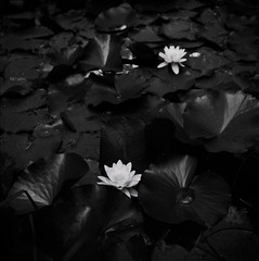 Waterlilies (Nobusuma) Tags: flowers blackandwhite italy film coffee monochrome analog zeiss square italia kodak tmax lucca cm hasselblad waterlilies fiori botanicalgarden caff f28 biancoenero planar 80mm 500cm selfdeveloped 100iso kodaktmax hasselblad500cm giardinobotanico ninfee homemadesoup caffenolcm