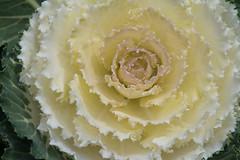 Garden cabbage (Igor Serikba) Tags: white green canon garden dew cabbage creamy eosm
