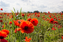 Poppie Fields (CJC Photography (UK)) Tags: red plant flower canon landscape countryside walk country lincolnshire poppies experiemental
