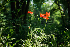 (marysmyth(NOLA13) ) Tags: flowers orange toronto garden spring explore poppies edwardsgardens torontobotanicalgardens