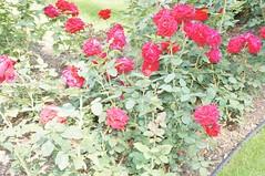 11878904_10153099683232076_5460321255966951787_o (jmac33208) Tags: park new york roses rose garden central schenectady
