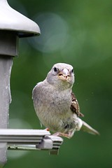 You elected Trump? (Radar Boy) Tags: bird female feeder finch housefinch songbird