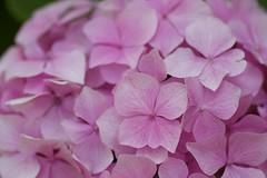 Hydrangea macrophylla (Jim Mayes) Tags: macro digital canon eos tamron 90mm tamronspaf90mmf28dimacro
