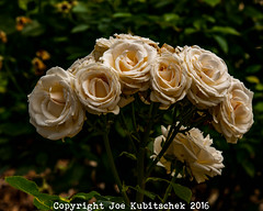 Rose for a cause (Kuby!) Tags: park flowers roses white floral june nikon mo missouri springfield nathaniel greene d300 kuby 2016 kubitschek