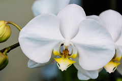 Orchids of Longwood (Lance Rogers) Tags: camera flowers kennettsquare pa longwoodgardens nikond500 orchid pennsylvania people places lancerogersphotoscom ©lancerogers