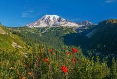 Rainier (Philip Kuntz) Tags: volcano washington rainer mtrainier cascaderange mtrainiernationalpark mountainashberries stevenscanyonroad