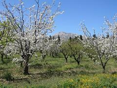 Verger au printemps (patricegalvand) Tags: paysage campagne verger fruitier culture massif alpilles fleur provence bouchesdurhone france