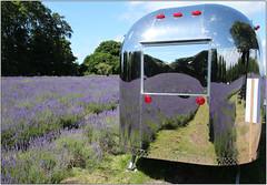 Reflections (Mabacam) Tags: flowers plant london reflections lavender surrey chrome fields 2016 banstead lavenderfarm mayfieldlavenderfarm
