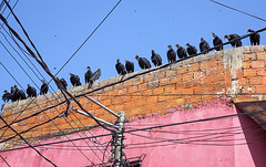 Twenty Vultures (Rob Whittaker Photography) Tags: travel pink peru southamerica birds animal canon vultures iquitos canoneos animalplanet canoneos5d canoneos5dmkiii sazzoo robwhittaker robwhittakerphotography sazzoocom