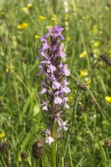 Marsh Orchid (l4ts) Tags: landscape orchids derbyshire peakdistrict sheldon whitepeak marshorchid wildflowermeadow britnatparks hardrakehaymeadows