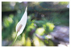 Spathiphyllum (leo.roos) Tags: flare a7 spath peacelily spathiphyllum darosa lepelplant composerpro leoroos lensbabysweetoptic3525
